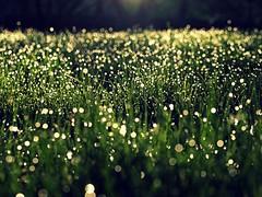 [フリー画像] 花・植物, 草原, 雫・水滴, 201105170700