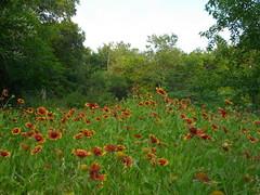 Blanket flower, Spring Creek Nature preserve