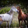 Romance (Franci Esteban) Tags: caballos prado cortejo equinos cdgexplorer