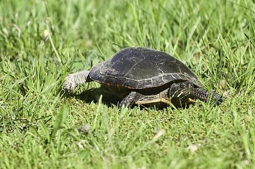 wMama_turtle_4