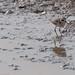 Amboseli, Kittlitz's Plover