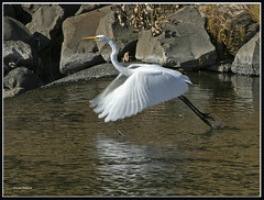 Taking flight (walla2chick) Tags: fab usa washington great egret soe wallawalla millcreek naturesfinest specanimal avianexcellence brillianteyejewel