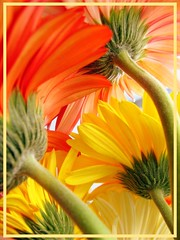 Warm glow (shubhangi athalye) Tags: pink flowers red india white macro beauty yellow colorful blooms gerberas supershot