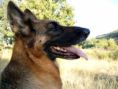 Ena (jacilluch) Tags: espaa dog spain asturias can perro germanshepherd guapa gos breton gsd germanshepherddog perras pastoraleman i beautifulcapture  everydayissunday pastoritedeschi