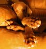 mukha and her paws (saikiishiki) Tags: portrait orange dog love feet grey hands chair sweet sleep gray weimaraner coolpix paws 犬 ♥ weim greyghost mukha 可愛い weimie ワイマラナー waimarana saikiishiki