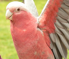 Smile! A Happy Galah Shows Its Wings (ianmichaelthomas) Tags: friends birds healesvillesanctuary soe parrots galahs birdwatcher animaladdiction specanimal australiannativebirds wildlifeofaustralia animalcraze worldofanimals auselite naturewatcher healesvillevictoriaaustralia flickrlovers vosplusbellesphotos