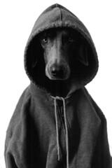 in the hood (saikiishiki) Tags: blue portrait dog chien white black love film dawg k analog darkroom grey asahi pentax k1000 ghost gray hound hond perro hund weimaraner hoody analogue  1000  perra inu omoshiroi weim greyghost bwfilm  squidoo vorstehhund 20f blueweimaraner weimie rolyn weimaranerart  bwphotogragh handdevelopedfilm handdevelopedbwprint handdevelopedbwphotograph handdevelopednegative waimarana blueweim weimaranerartist weimaranerphotography weimaranerphotographer saikiishiki