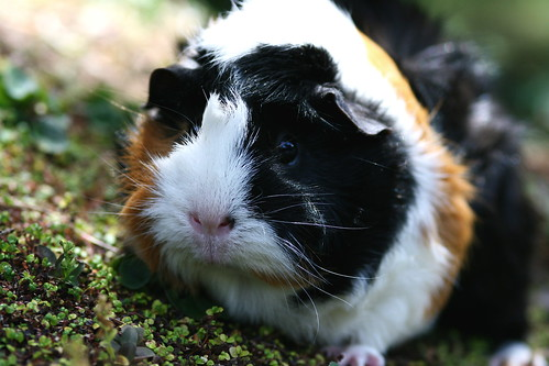Mandy the guinea pig by Minabea