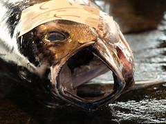 [フリー画像] [動物写真] [魚類] [まぐろ/マグロ]        [フリー素材]