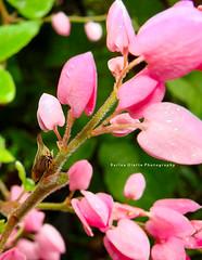 Umbonia spinosa (Karina Diarte de Maidana) Tags: membracidae pronotum thorns antigononleptopus antigonon homoptera camouflage membracido flower insect macro honey ant camuflaje eggs karinadiarte paraguay umboniaspinosa