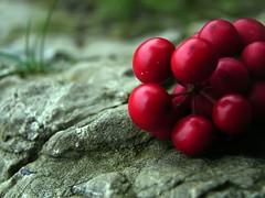 New year   (B@ni) Tags: red macro green rock turkey natural quality trkiye natura newyear turquie trkei kaya turkije turquia tyrkiet turchia yeil turkki crataegusmonogyna naturel doal turkiet krmz tyrkia ylba tyrkland al fotografca