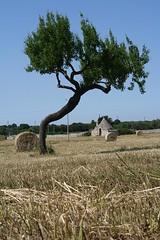 primavera (Maverg) Tags: alberi balla albero trulli puglia bari trullo murgia grano putignano balle covone covoni