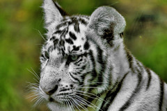 baby white tiger (* Thierry *) Tags: blue wild baby white france eye animal zoo eyes feline tiger yeux bleu cubs blanc whitetiger 2007 flin wildlive beauval flins whitetigercubs tigreblanc impressedbeauty babywhitetiger bbtigreblanc