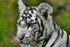 baby white tiger (* Thierry *) Tags: blue wild baby white france eye animal zoo eyes feline tiger yeux bleu cubs blanc whitetiger 2007 félin wildlive beauval félins whitetigercubs tigreblanc impressedbeauty babywhitetiger bébétigreblanc