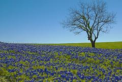 Bluebonnet Ridge (Jeff Clow) Tags: tree nature field texas hill meadow ridge bluebonnets blueribbonwinner firstquality anawesomeshot impressedbeauty jeffrclow
