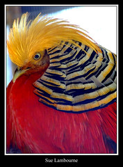 Who's a Pretty Boy (susie 1) Tags: friends red bird eye beautiful yellow neck pretty lovely beady smorgasbord frill novideo supershot 25faves goldenmix anawesomeshot diamondclassphotographer flickrdiamond citrit theunforgettablepictures unforgettablepictures wonderfulworldmix goldstaraward