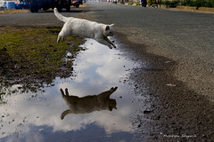 fly in the air (Masakazu Ikeguchi) Tags: reflection japan cat puddle jump nikon gato neko d200 fukuoka  straycat  lolcat mywinners bestofcats anawesomeshot diamondclassphotographer  masakazuikeguchi  boc0608 belovedstraycat