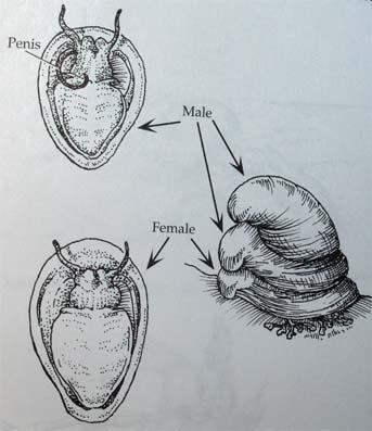 Crepidula2