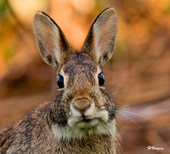 Rabbit are you watching me (HVargas) Tags: fab macro rabbit eye animal canon lens newjersey hare conejo wildlife group ojos ear rabbits fabulous picturesque soe oreja smrgsbord hares liebre saddlebrook abigfave ef180mm aplusphoto megashot favphotographer canoneos40d canon40d naturewatcher hvargas unlimitedphotos oneearthonehomenaturephotos canonmacroef180mm 100earthcomments