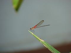 Liblula [Dragonfly] (barloventomagico) Tags: southamerica insect dragonfly venezuela liblula arthropoda marcaribe insecto caribbeansea barlovento suramrica neotropic northernsouthamerica artrpodo neotrpico nortedesuramrica