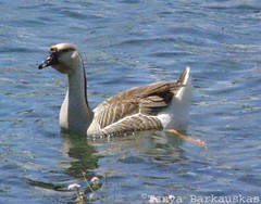 Swan (chinese) goose (hairstyleca) Tags: hawaii swan chinese olympus goose ansercygnoides sp550