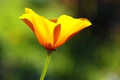 within (*sapa*) Tags: orange flower poppy imagination californianpoppy dickinson excellence flowerotica auselite