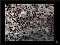 AntZ (Paco CT) Tags: animal animals community hormigas many together ants animales comunidad juntos muchos ltytr1