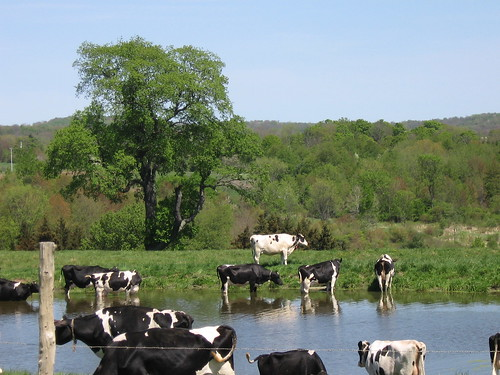 Cow pond