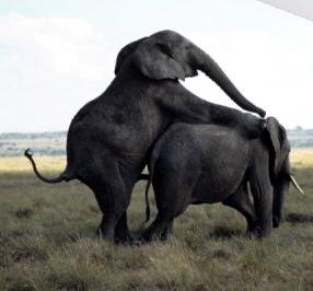 elephantsex
