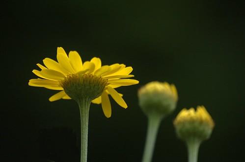 Anthemis tinctoria | Gele Kamille, Verfkamille - Dyers Chamomille,  Golden Marguerite