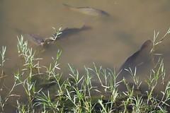 Río Manzanares: fish!