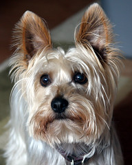 Hannibal the Silky Terrier
