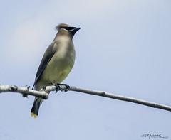 Cedar Waxwing (G. Maxwell) Tags: birds cedarwaxwings em5 zuiko ontario bowmanville olympus oly70300mmf4056 2009