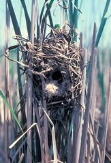 (Empty) Marsh Wren nest, Powderhorn Lake FP, Cook Co., IL (6-7-81) (Walter Marcisz) Tags: birds wrens nests