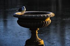 Feeling Cold (MrBlueSky*) Tags: seagull bird animal kewgardens kingdomanimalia london outdoor nature ngc urn ice blue aficionados pentax pentaxart pentaxk1 pentaxlife pentaxawards pentaxflickraward