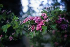 Y_F3_28f25_Sensia400 RX089 rose blossom (jim sedgley) Tags: pink red flower tree film nature nikon blossom bokeh f3 filmcamera fujichromesensia400 vivitar28mmf25ai