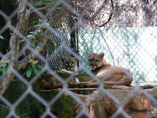 Cougar Mirror