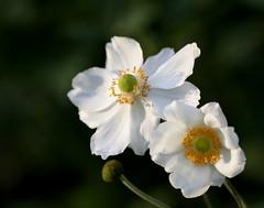 Innocent & Happy (EveBB) Tags: autumn flower 20d nature netherlands amsterdam canon garden happy eos innocent bloem vrolijk gelukkig onschuldig