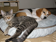 Fishbone and Eem-er (dilling) Tags: dog beagle cat bed kitten sleep tabby emma kitty snooze fishbone rescuepet eemer