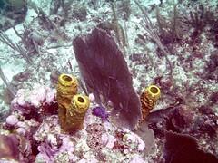 PICT0044 (JoseQ) Tags: coral mar belize caribe submarinismo