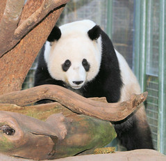 SD Zoo staff and fans had a nice surprise when they saw Mei Sheng still here on exhibit (kjdrill) Tags: china bear station animal giant zoo panda sandiego chinese research endangeredspecies 383 meisheng