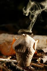 Puffball puffing (Ian Hayhurst) Tags: smoking fungi puffball moneyshot spores leaflitter puffing naturesfinest lycoperdonperlatum canonef100mmf28macrousm sporulation sporerelease