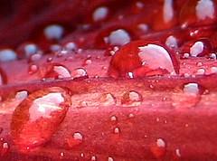 drop red (Nita Sinjorgo) Tags: flowers red flower flickrsbest anawesomeshot goldenphotographer flickrdiamond themacrogroup macroflowerlovers