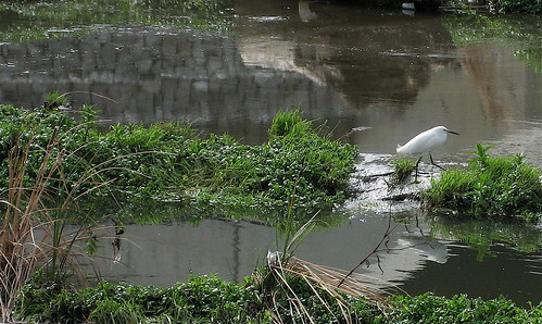 snowy egret in the Guadalupe
