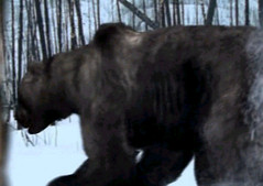 04 giant bear chases human
