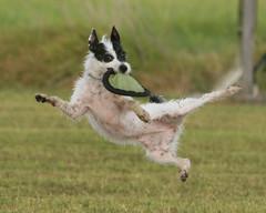 Karate' (Emery_Way) Tags: show dogs jack russell action best terrier trixie panning in petresolutions mywinners omot platinumphoto anawesomeshot impressedbeauty diamondclassphotographer lmaoanimalphotoaward empyreananimals amazoncarescontest amazoncarescontestwinner