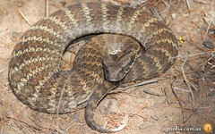 Common death adder (Acanthophis antarcticus)