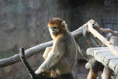 Golden Money from China, 중국의 황금원숭이 (Ekaterry) Tags: china canon eos monkey everland 중국 에버랜드 goldenmonkey 원숭이 400d haegeunjee 지해근 황금원숭이