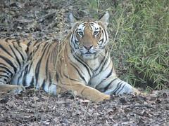 Tiger (Sparky the Neon Cat) Tags: park india animal cat asian big asia stripes indian tiger national predator bengal tigris carnivore pradesh panthera bandhavgarh madhya