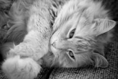 raw test_fat cat (Randall Cottrell) Tags: bw cute delete10 cat delete9 delete5 delete2 furry raw fuzzy delete6 delete7 save3 delete8 delete3 delete delete4 save save2 save4 paws duluthmn nikond80 randallcottrell